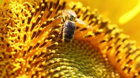 Bee Collects Pollen In The Sunflower stock video footage