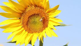 Bee Collects Pollen In The Sunflower stock video