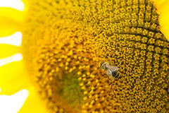 Bee collects pollen on a sunflower Royalty Free Stock Images