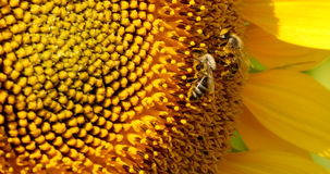 Bee Collects Pollen In The Sunflower Stock Photography