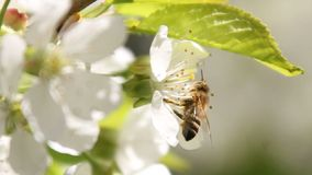 Bee collects nectar from white blossoming tree flower and flies away. Bee on petals of cherry,. Bee collects pollen from white blooming flowers of a cherry tree stock video