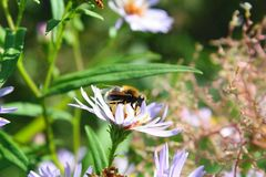 A bee collects pollen from white daisies in summer. S stock photography