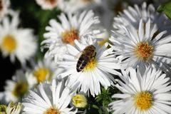 The bee collects pollen from a white flower. Bee on a white flower royalty free stock photos