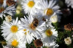 The bee collects pollen from a white flower. Bee on a white flower stock photo