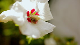 A bee collects pollen in a white flower stock footage