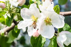 Bee collects pollen in white flower of apple tree. Close up in spring royalty free stock photos