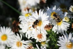 The bee collects pollen from a white flower. Bee on a white flower royalty free stock photo