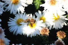 The bee collects pollen from a white flower. Bee on a white flower royalty free stock image