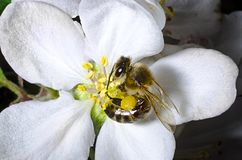 The bee collects pollen on a white flower of blossoming cherry in the spring, collected a pouch under the foot royalty free stock photo