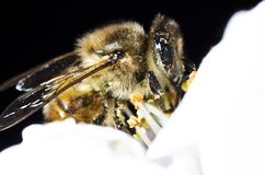 The bee collects pollen on a white flower of blossoming cherry in the spring, front view royalty free stock image