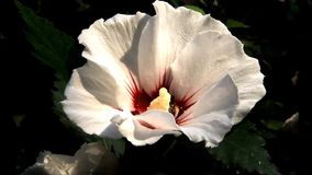 Bee collects pollen from white flowering hibiscus stock video
