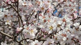 Bee collects pollen from white flowers in orchard. Flowering apple tree in spring. Branch with blossoms in sunlight. Blooming tree stock video