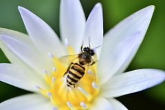 Bee. The bee collects pollen on white lotus flower Royalty Free Stock Image