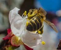 A bee collects pollen on a wild apricot flower against a blue sk Royalty Free Stock Photography