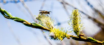 Bee collects pollen, willow branch, sunny spring day_ royalty free stock photo