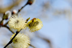 Bee collects pollen from yellow catkins Royalty Free Stock Photo