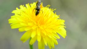 Bee collects pollen on yellow dandelion. Wooker bee collects pollen from a yellow dandelion flower on blurry background in summer stock footage