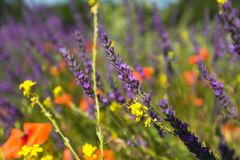 Bee on yellow flower. Blurred background of lavender and poppies stock images