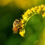 A bee collects pollen in a yellow flower Royalty Free Stock Photography