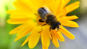 A bee collects pollen on yellow flower macro stock footage