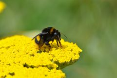A bee collects pollen from yellow flowers. During springtime in a UK garden royalty free stock photos