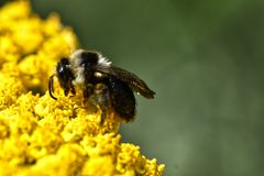 A bee collects pollen from yellow flowers. During springtime in a UK garden royalty free stock photo