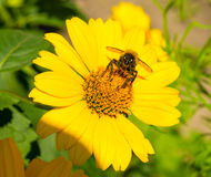 Bee collects pollen from yellow flowers perennial asters in the Stock Image
