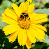 Bee collects pollen from yellow flowers perennial asters Royalty Free Stock Photo