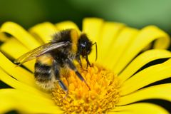 A bee collects pollen from a Yellow Marguerite Daisy. In the springtime in a UK garden royalty free stock photo