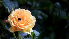 Bee collects pollen from yellow rose stock footage