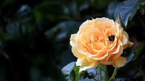 Bee collects pollen from yellow rose stock video