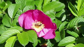 Bee collects pollen from pink bloom of dog rose stock video