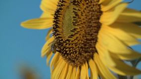 Bee Collects Pollen From a Yellow Sunflower Against the Blue Sky stock footage