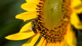 Bee Collects Pollen From a Yellow Sunflower stock footage