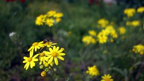 Bee collects pollen from yellow wild chamomile. A bee pollinates a field with daisies. Bee collects pollen from yellow wild chamomile. A bee pollinates a field stock footage