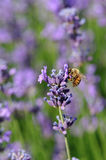 Bee collects scented lavender flower Royalty Free Stock Photos
