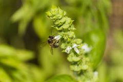 Bee collects white pollen and nectar. Honey bee collects white pollen and nectar closeup freom white blossom royalty free stock photos