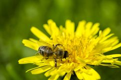 The bee collects the yellow nectar on the legs from the yellow dandelion stock photo