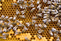 Bee colony. A colony of bees working on honeycomb stock photography