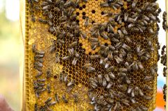 Bee colony on the honeycombs. Beekeeping and getting honey. Hive. On the background Stock Photography