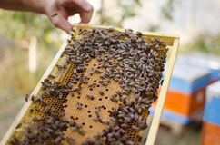 Bee colony on the honeycombs. Beekeeping and getting honey. Hive. On the background Royalty Free Stock Photo