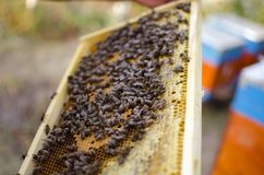 Bee colony on the honeycombs. Beekeeping and getting honey. Hive. On the background Royalty Free Stock Photos