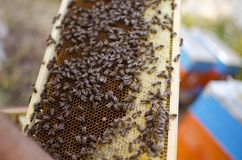 Bee colony on the honeycombs. Beekeeping and getting honey. Hive. On the background Royalty Free Stock Image