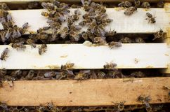 Bee colony on the honeycombs. Beekeeping and getting honey. Hive. On the background Stock Images