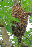 Bee colony on a tree Royalty Free Stock Image