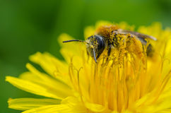 Bee. A colorful bee covered with nectar on a dandelion stock images