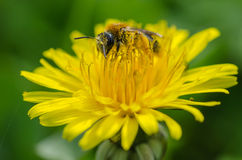 Bee. A colorful bee covered with nectar on a dandelion royalty free stock images