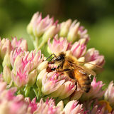 Bee in colorful summer flower Royalty Free Stock Photography