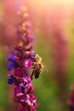 Bee. On a colorful wildflower Stock Photos