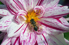 Bee on a Colourful Flower Stock Photography